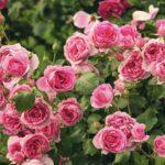 Крупноцветковые розы