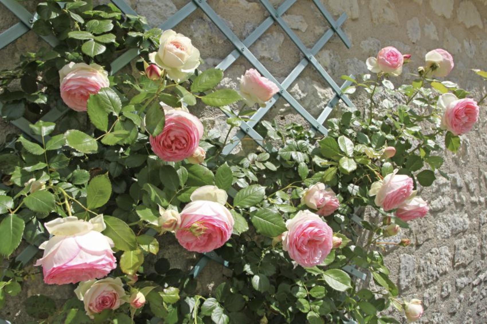 Пошаговое размножение роз