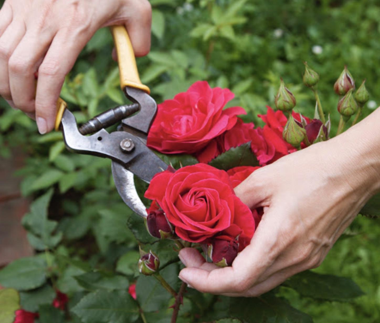Правильный уход за благородными розами