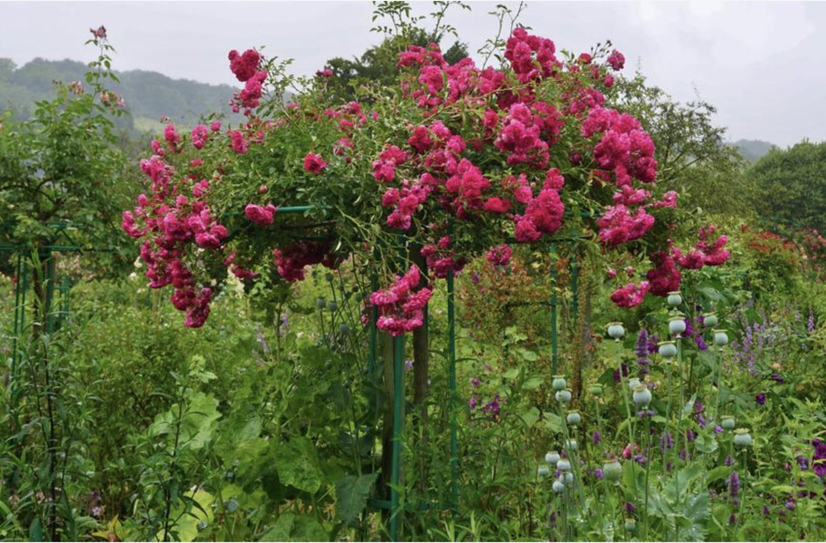 Привитая на ствол роза