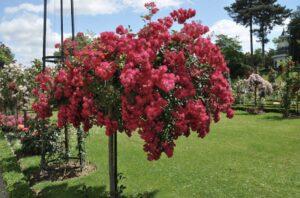 Уход за штамбовой розой