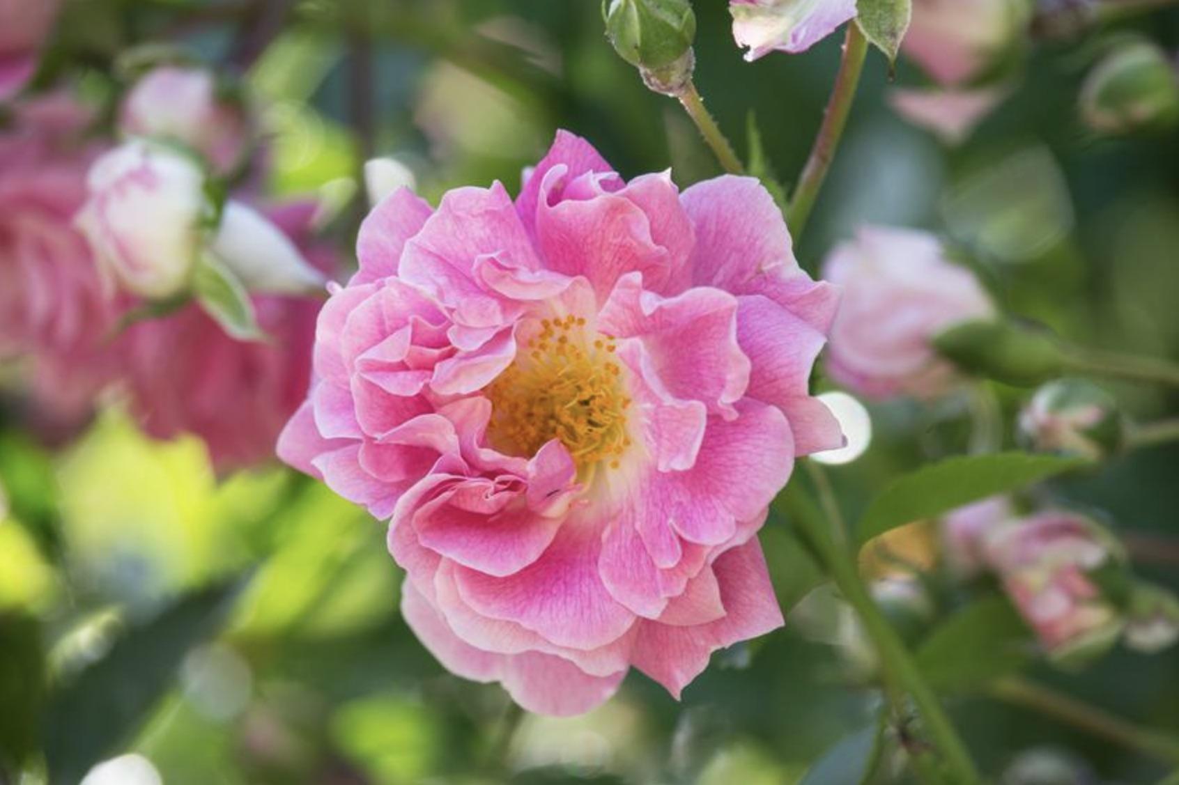 Французская роза Gallica versicolor