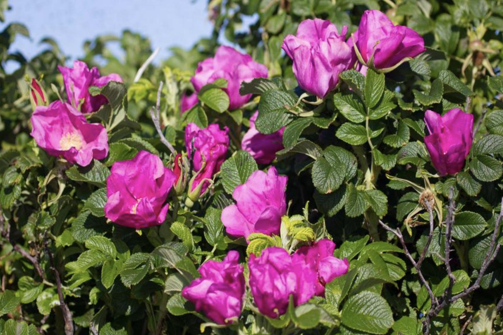 Шиповник морщинистый rosa rugosa