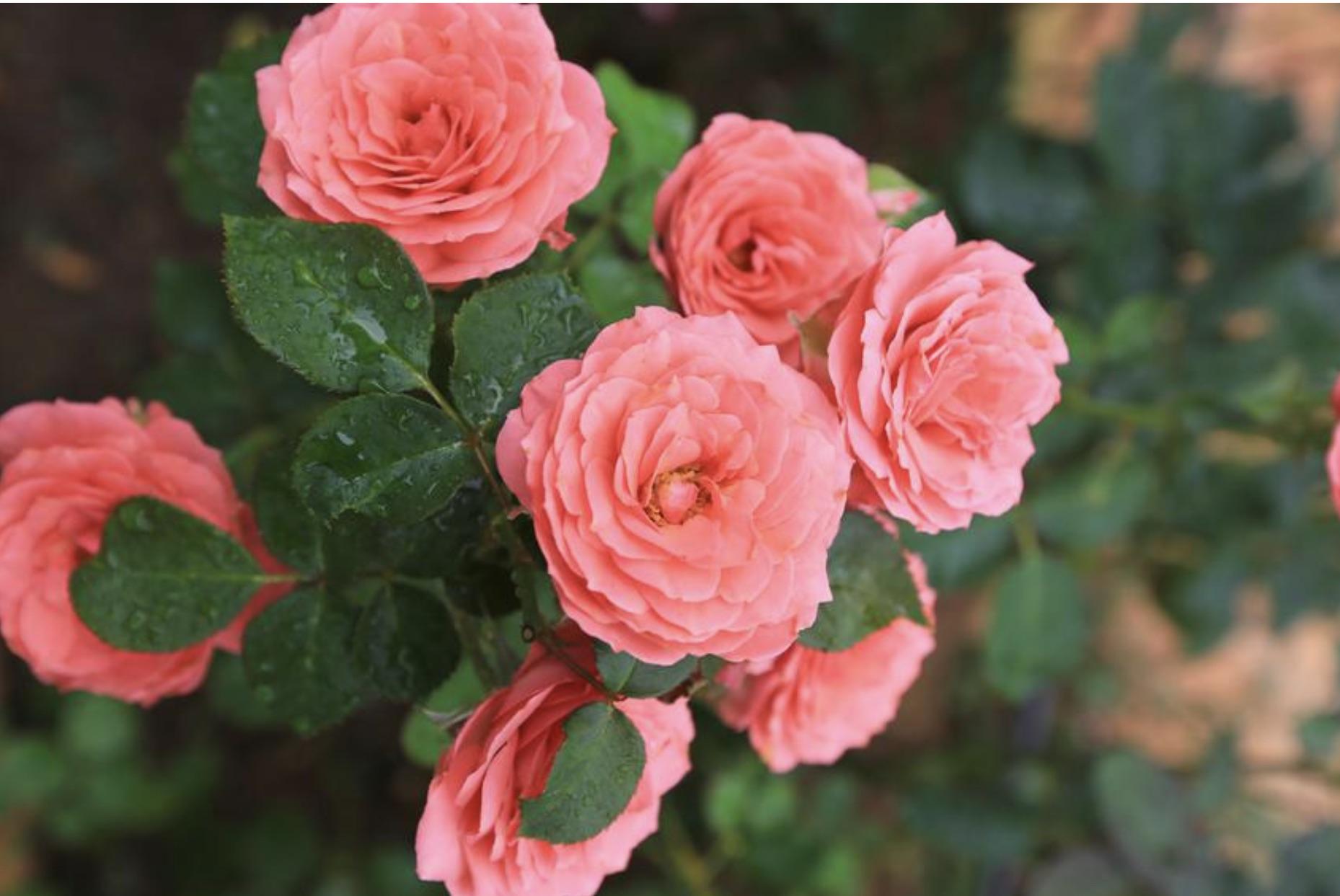 роза райская пьер де ронсар