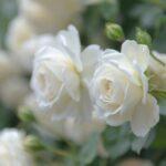 розы с белыми лепестками