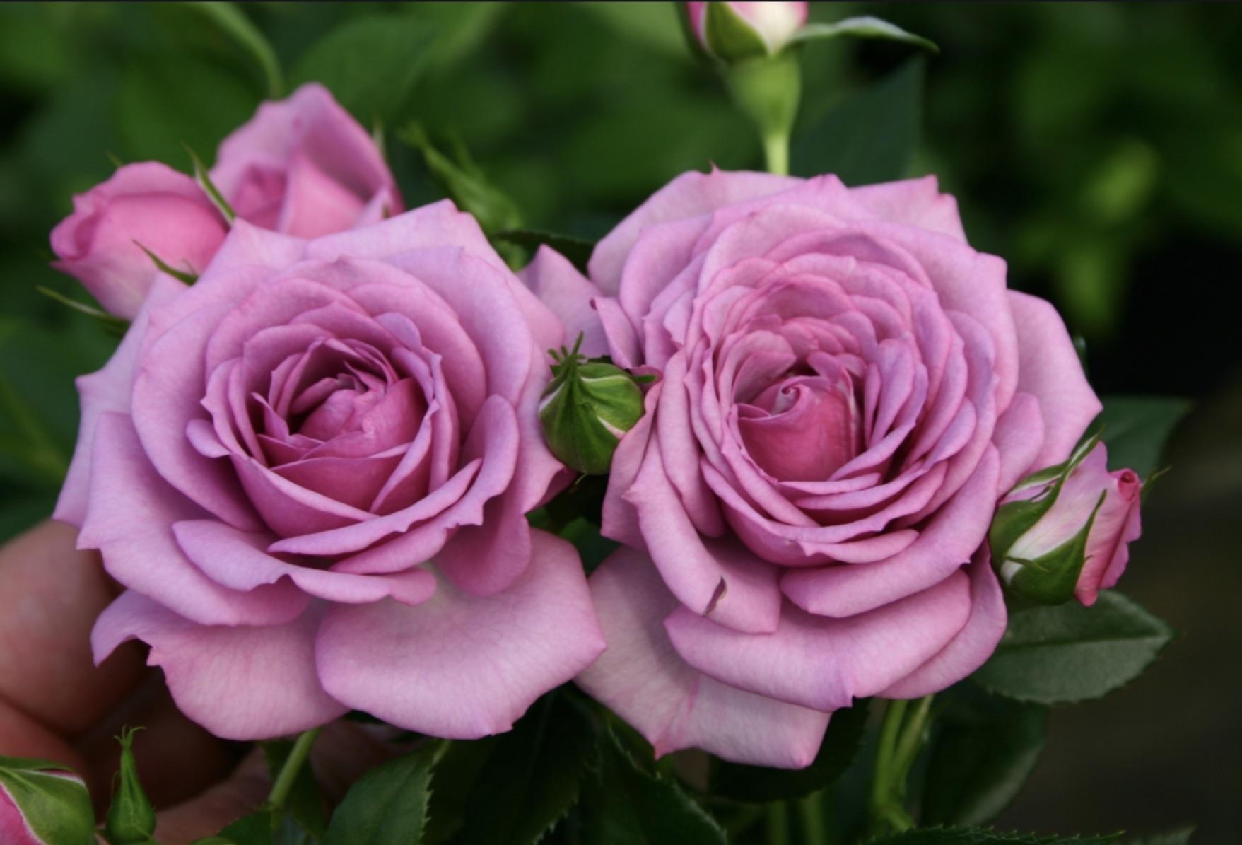 розы с розовыми лепестками